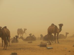 Camels in a sand storm