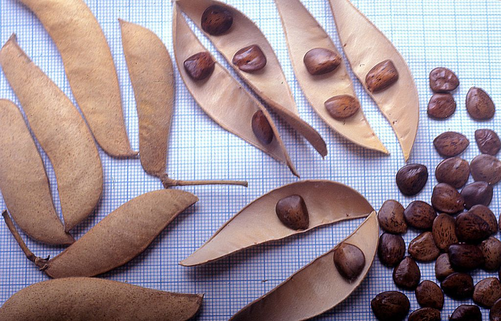 Стручки и семена цезальпинии. Mihailo Grbic, GNU 1.2
