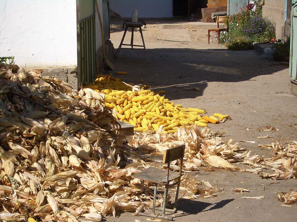 Кукуруза как повод для знакомства. Фото: Vmenkov, CC BY-SA 3.0