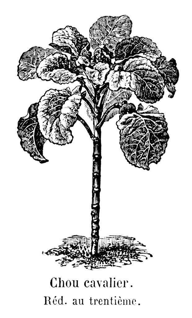 Brassica oleracea var. viridis. Ботаническая иллюстрация. Thiébault & VAC = Vilmorin-Andrieux & Compagnie, Public Domain