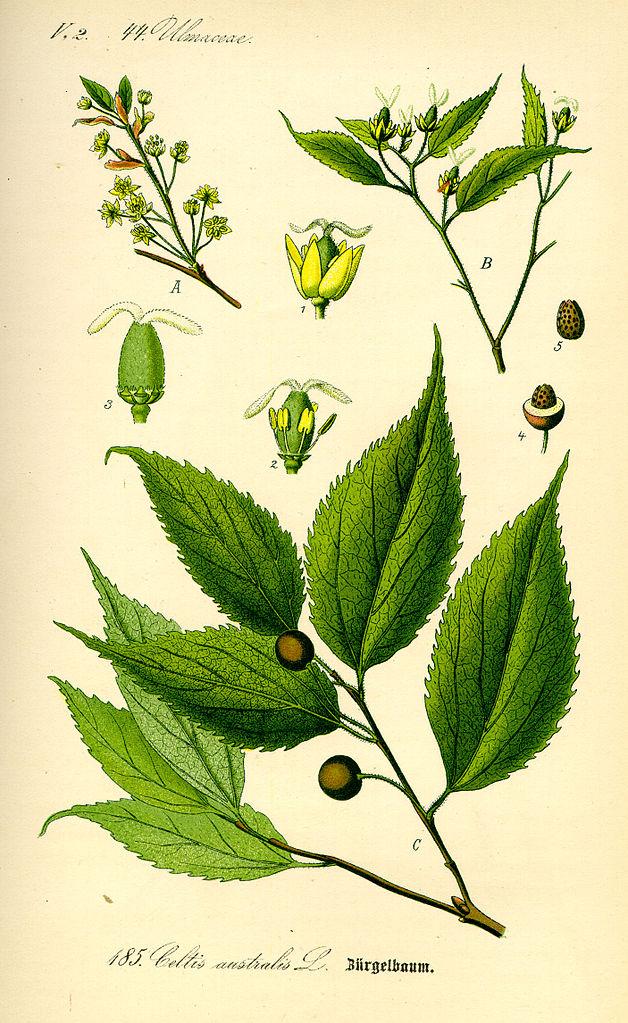 Celtis australis. Prof. Dr. Otto Wilhelm Thomé, Public Domain