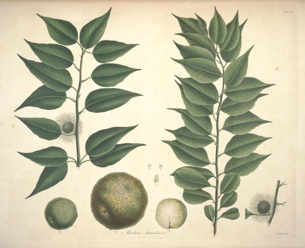 Маклюра. Ботаническая иллюстрация. Bauer, Ferdinand; Don, David; Lambert, Aylmer Bourke, CC BY 2.0
