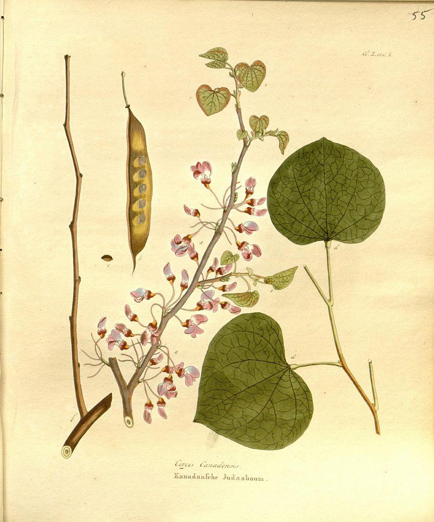 Багрянник, ботаническая иллюстрация. Krauss, Johan Carl, Public Domain
