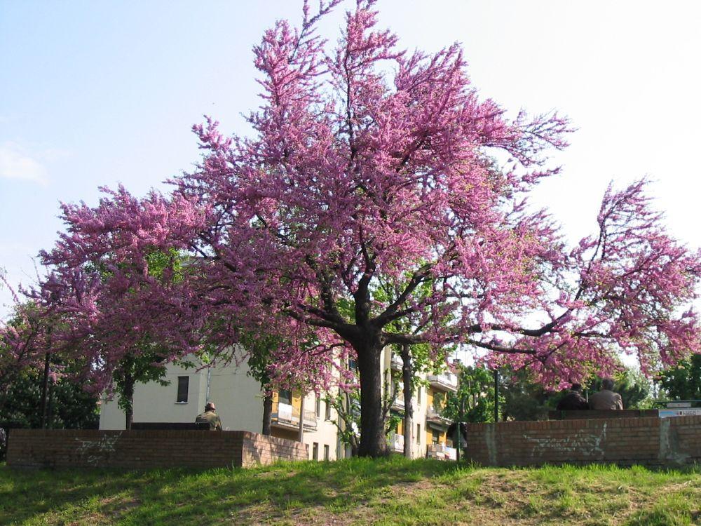 Пурпурное дерево. Fraxinus, CC BY-SA 3.0