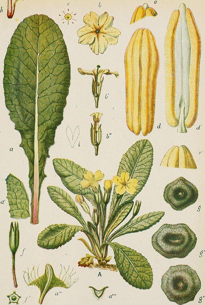 Примула. Ботаническая иллюстрация. R. Istituto scientifico sperimentale del tabacco, No copyright