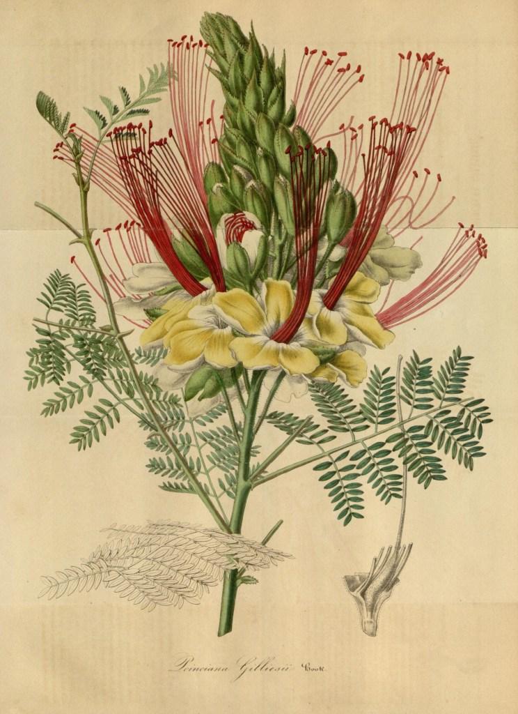 Цезальпиния Джиллиса. Ботаническая иллюстрация. Van Houtte, Louis, CC BY 2.0
