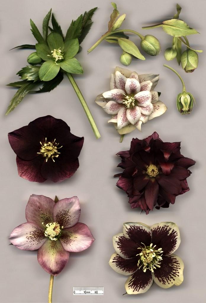 Цветы разных видов морозника. SiGarb, GNU 1.2