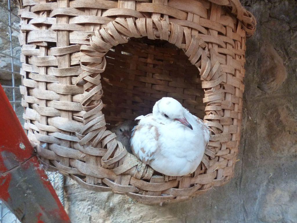 Мини-зоопарк: почтовый голубь. Фото: Елена Арсениевич, CC BY-SA 3.0