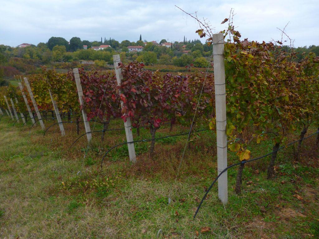 Осенние виноградники. Фото: Елена Арсениевич, CC BY-SA 3.0