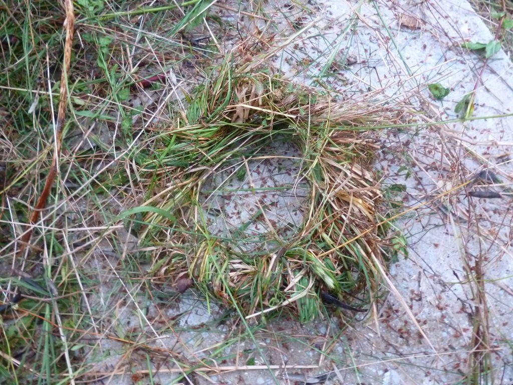 Веночек из травы. Фото: Елена Арсениевич, CC BY-SA 3.0