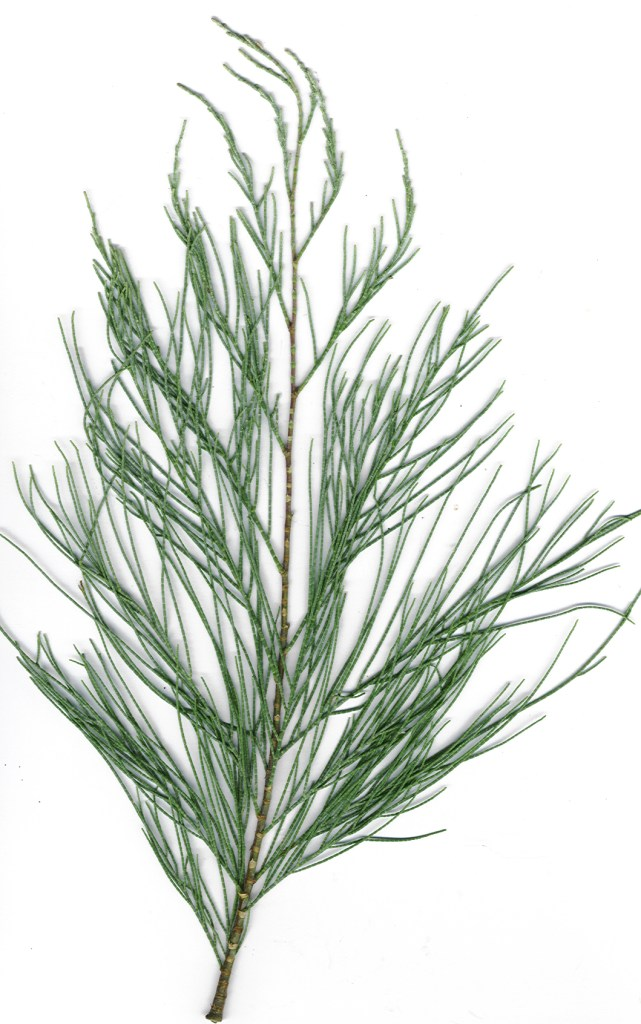 Ветвь тамариска безлистного (Tamarix aphylla). Forest & Kim Starr, CC BY-SA 3.0