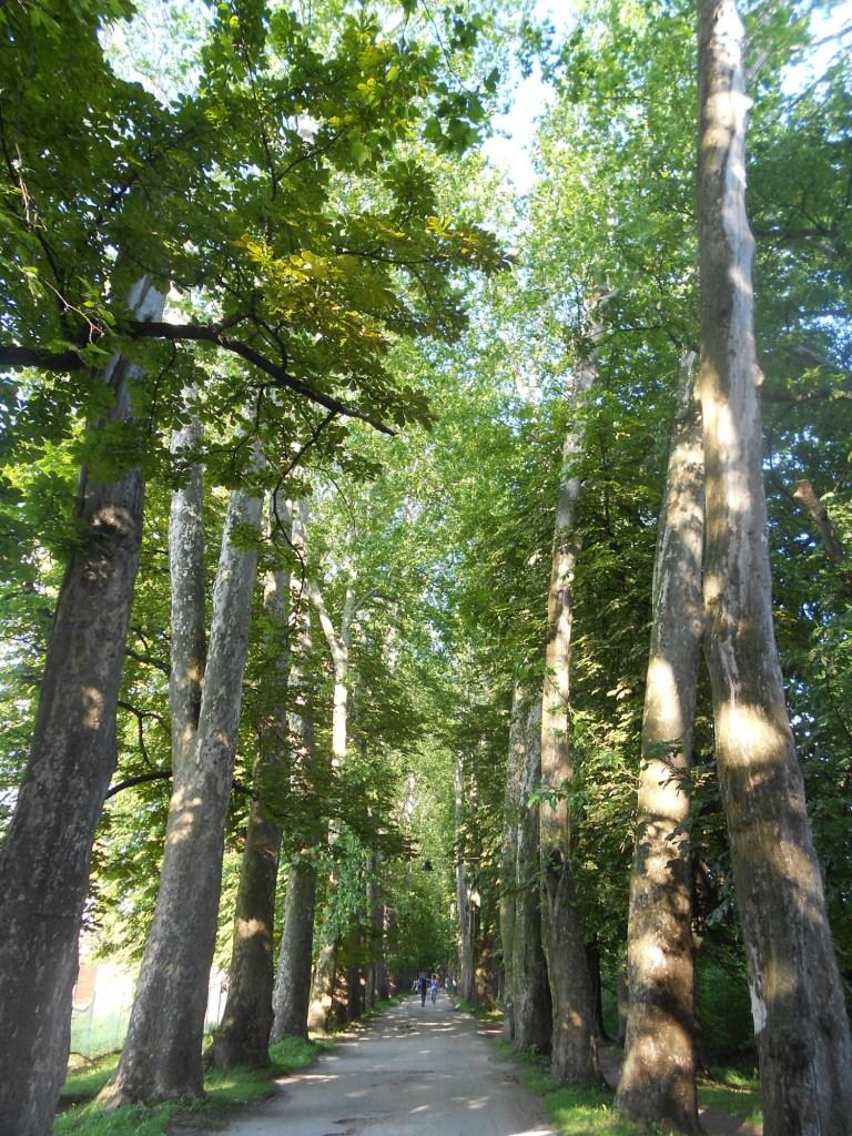 Столетние деревья. Фото: Елена Арсениевич, CC BY-SA 3.0