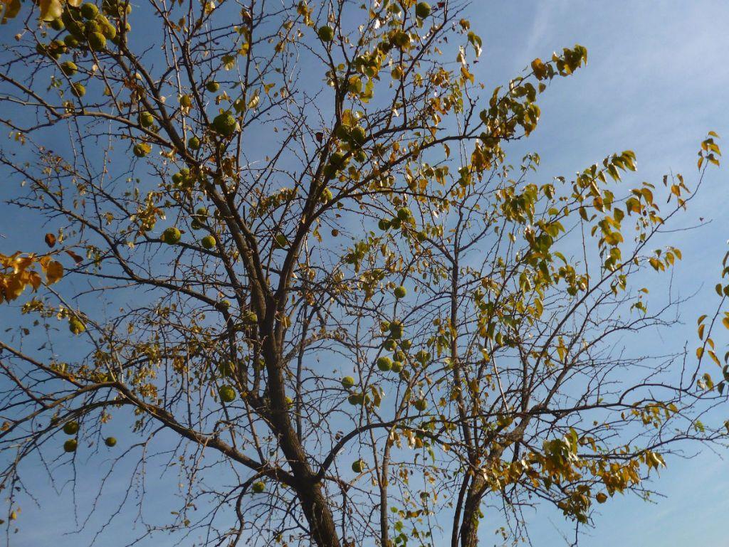 Дерево маклюры с плодами. Фото: Елена Арсениевич, CC BY-SA 3.0