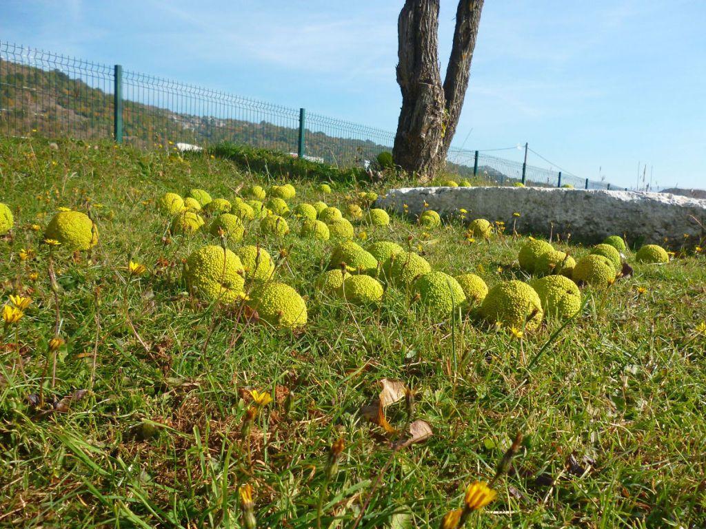 Плоды маклюры. Фото: Елена Арсениевич, CC BY-SA 3.0