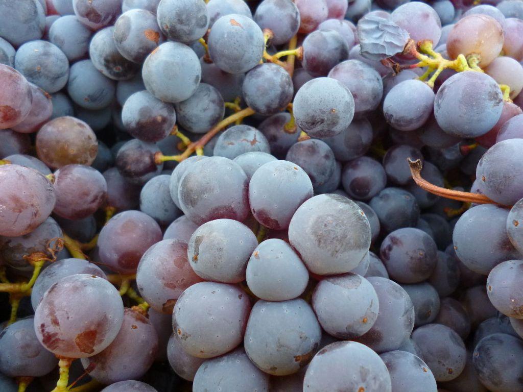 Сырьё для лозы, виноградной ракии. Фото: Елена Арсениевич, CC BY-SA 3.0