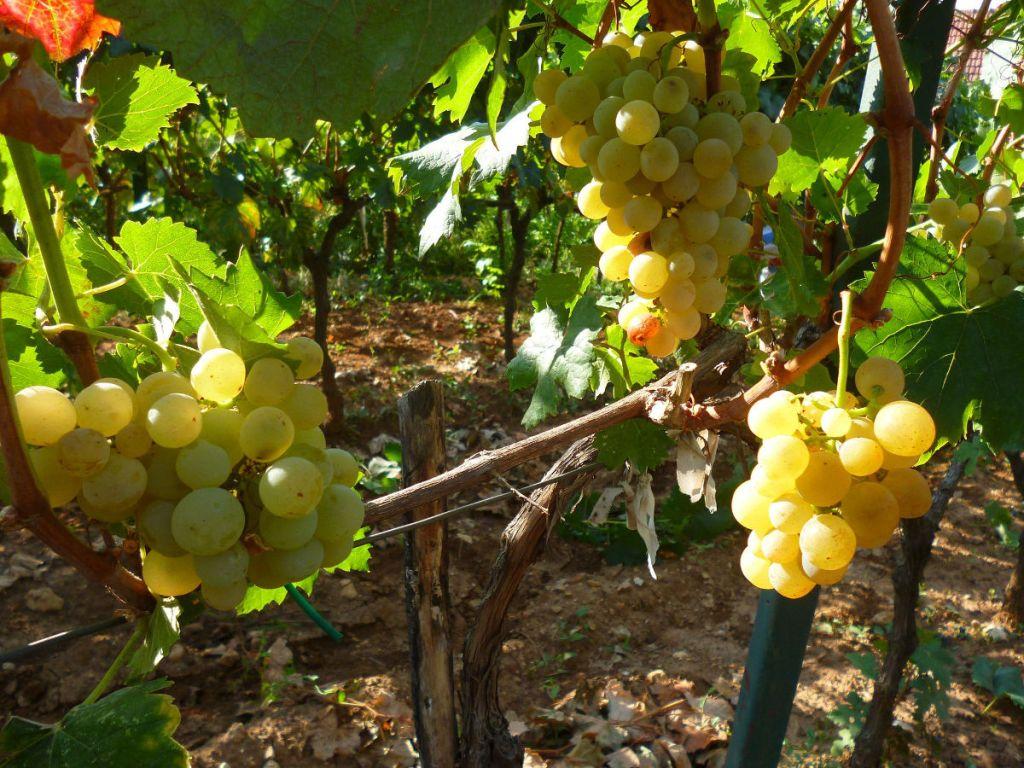 Вес гроздей от 150 до 200 граммов. Фото: Елена Арсениевич, CC BY-SA 3.0