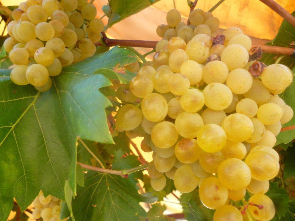 Герцеговинский виноград. Фото: Елена Арсениевич, CC BY-SA 3.0