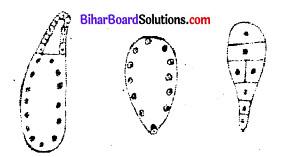 Bihar Board 12th Biology Objective Answers Chapter 2 पुष्पी पादपों में लैंगिक प्रजनन 2