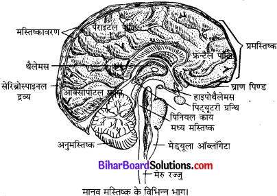 Bihar Board Class 10 Science Solutions Chapter 7 नियंत्रण एवं समन्वय