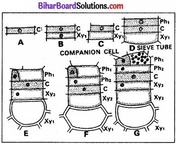 Bihar Board Class 11 Biology Chapter 6 पुष्पी पादपों का शारीर