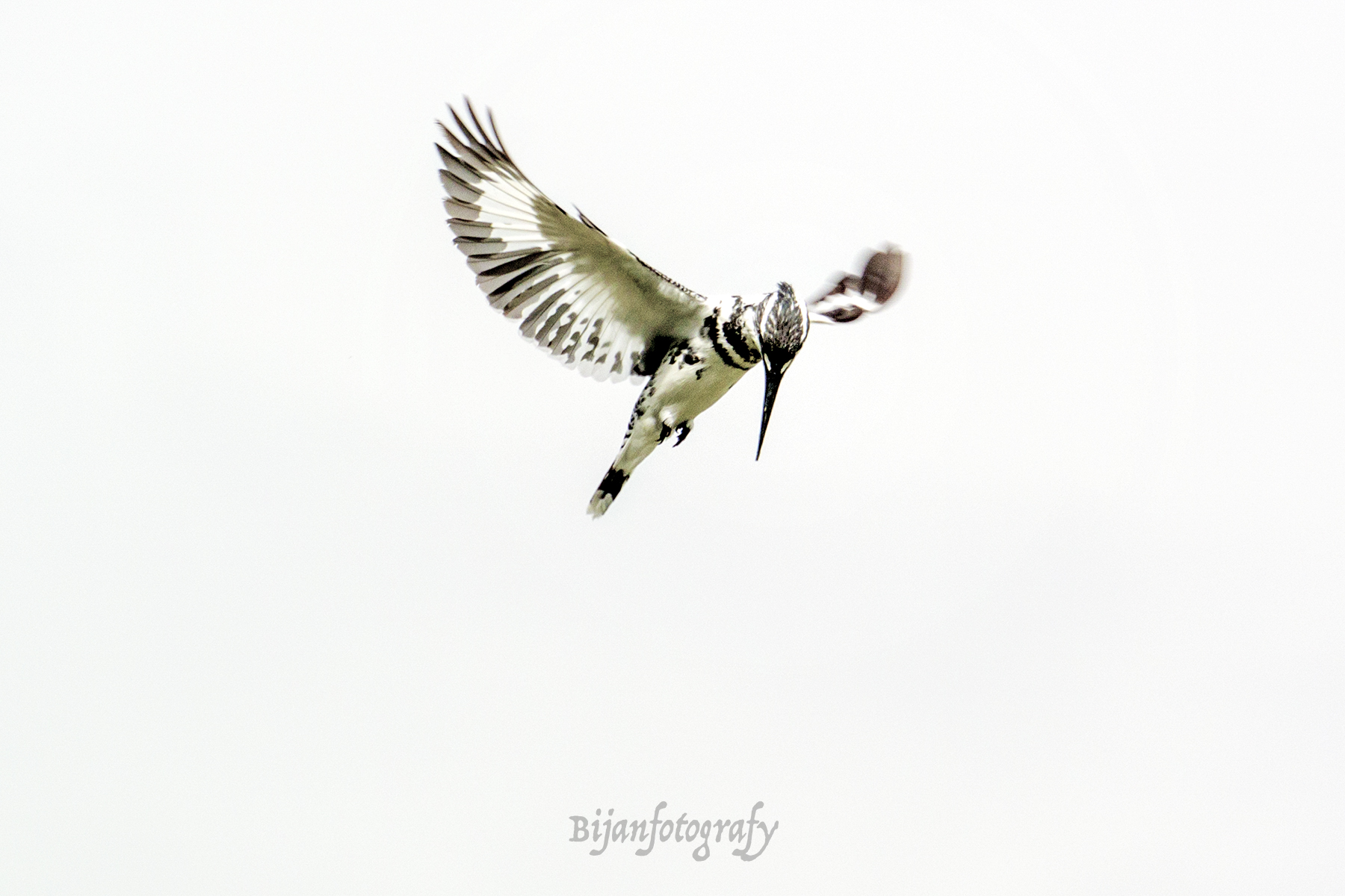 An Afternoon with a Pied Kingfisher and Nikon 1 Gear
