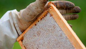 Zomer Honing oogst - Raam met volle honingraat