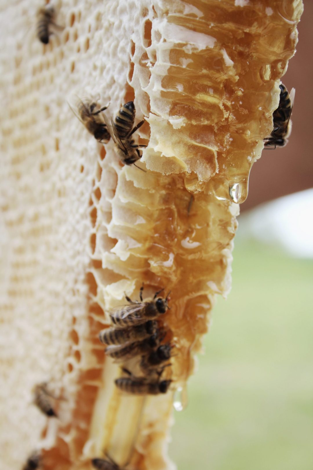 honey comb and bees