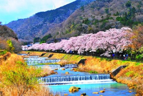 宮城野 桜