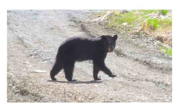 Black Bear on the first hour of cycling