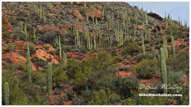 Saguaro cactus, everywhere