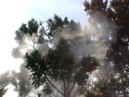 Cedar tree pollenating. From http://www.hay-fever-relief.com/cedar-tree-pictures.html