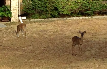 Deer can often be seen in the large yards during the early morning.