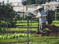 Zeleninová zahrádka na ostrově v Hoi An