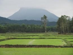 Juicy Rice Field