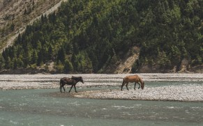 Mustangs in a river in Lower Mustang Valley. Jomsom, Nepal
