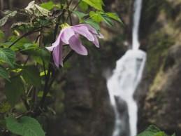 Rododendron a vodopád. Pisang Valley, Nepál