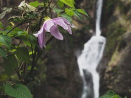 Rhododendron and waterfall. Pisang, Valey, Nepal