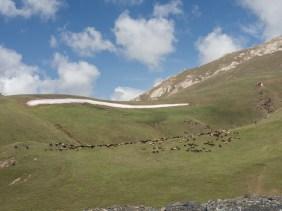 Ovce na pastvě. Okolí Sary-Tashe, Kyrgyzstán