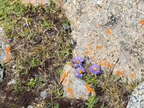 Alpská květena. Tosor Pass, Kyrgyzstán