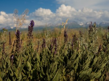 Field flowers. Karakol Area, Kyrgyzstan