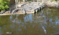 "You will never see more American alligators in one place than at the ""Farm."""