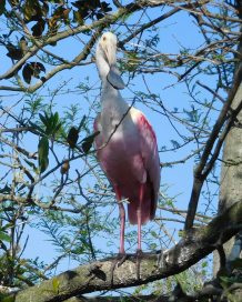 Almost equally astonishing at the Alligator Farm are the birds. In spring, hundreds of tropical birds, like this roseate spoonbill, roost in the trees above the alligator enclosures—places no egg-eating raccoon would dare to tread.