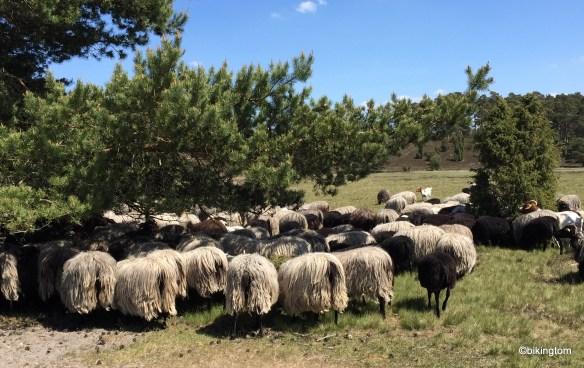 Schafsherde...von hinten.