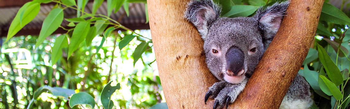 Koalaer på Magnetic Island, North Queensland