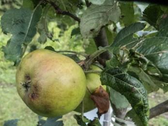 apple belle de boskoop