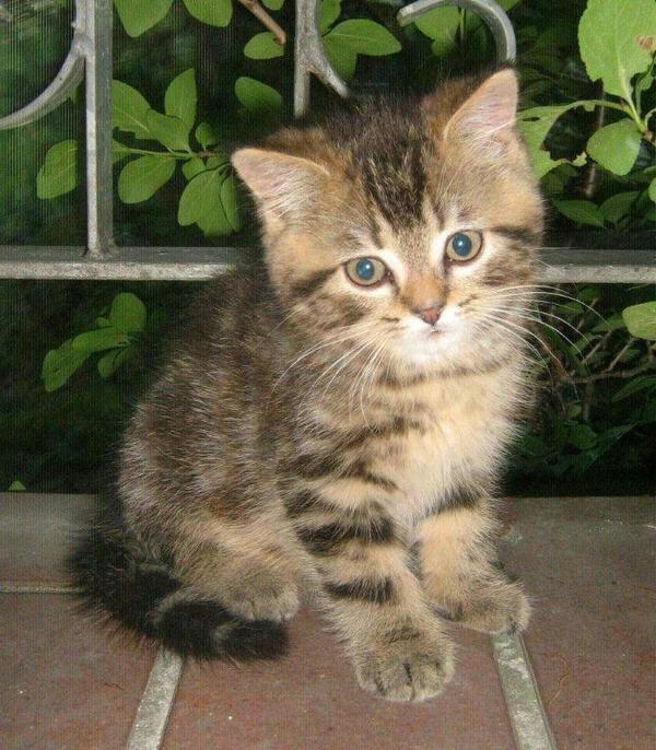 Suche persermix  mischling in Bonn  Katzen kaufen und