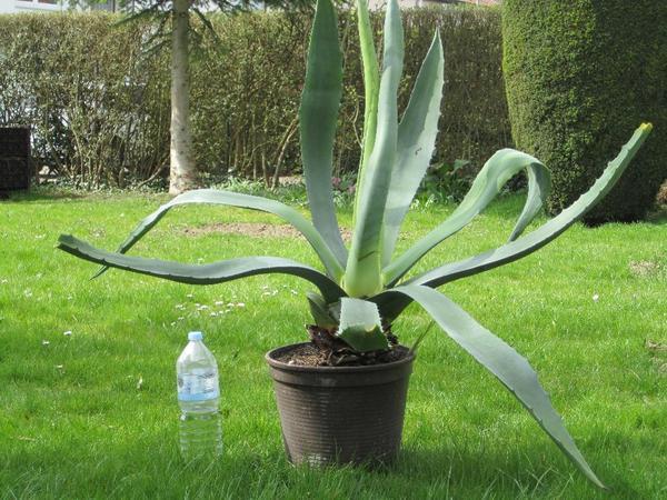 Agave Im Garten Pflanzen agave pflanzen pflege und tipps
