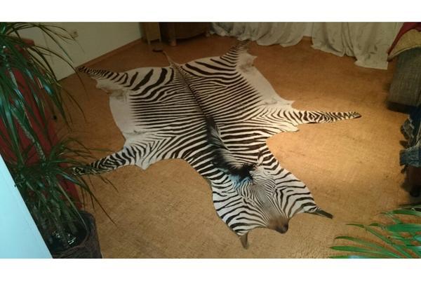 zebrafell kaufen  Groe Auswahl an Piercing und Krperschmuck  Flesh Tunnel Piercings