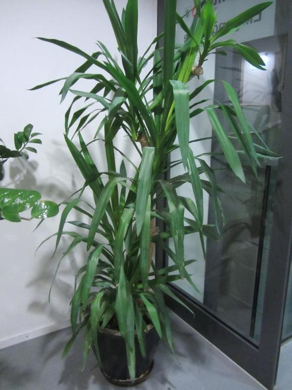 Zimmerpflanzen kaufen  Zimmerpflanzen gebraucht  dhd24com