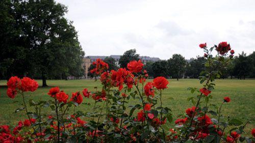 Rosen am Alaunplatz